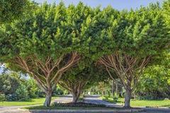 Συμμετρικά πράσινα δέντρα στο πάρκο παραλιών antalya Τουρκία Στοκ φωτογραφία με δικαίωμα ελεύθερης χρήσης