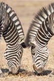 Συμμετρικά zebras, πάρκο Kruger, Νότια Αφρική Στοκ φωτογραφία με δικαίωμα ελεύθερης χρήσης