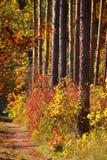 Συμμετρικοί κορμοί δέντρων με τους ζωηρόχρωμους θάμνους φθινοπώρου Στοκ φωτογραφίες με δικαίωμα ελεύθερης χρήσης