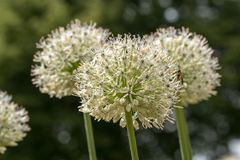 Συμμορία του σκόρδου λευκών ελεφάντων - allium ampeloprasum στοκ εικόνες