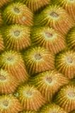 συμπαγές κοράλλι κίτρινο Στοκ φωτογραφία με δικαίωμα ελεύθερης χρήσης