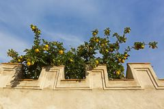 Συμπαγής τοίχος με το μεγάλο κίτρινο οπωρωφόρο δέντρο κυδωνιών που αυξάνεται πίσω στοκ εικόνες