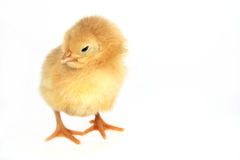 συμπαθητικός μικρός κοτόπ& Στοκ Φωτογραφίες