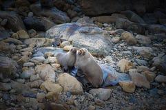 Συμπαθητικό λιοντάρι θάλασσας ζευγών κινηματογραφήσεων σε πρώτο πλάνο στην παραλία στη νότια Νέα Ζηλανδία Στοκ Φωτογραφίες