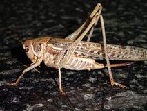 Συμπαθητικό grasshopper στο πρώτο πλάνο στοκ φωτογραφία με δικαίωμα ελεύθερης χρήσης