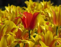 Συνήθως κόκκινη τουλίπα στη μέση των κίτρινων ριγωτών τουλιπών στοκ φωτογραφία με δικαίωμα ελεύθερης χρήσης