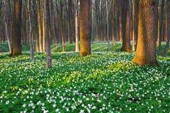 Συναρπασμένο δάσος με τα άσπρα λουλούδια Στοκ Εικόνα