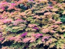 Συναρπαστικά φύλλα σφενδάμου Φθινόπωρο Στοκ Φωτογραφία