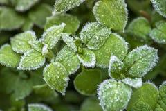 Συναρπαστικός μακρο πυροβολισμός των παγωμένων πράσινων φύλλων στον παγετό Στοκ Φωτογραφίες