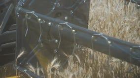 Συνδυάστε το σίτο συγκομιδών στο γεωργικό τομέα, άλεσμα κινηματογραφήσεων σε πρώτο πλάνο απόθεμα βίντεο