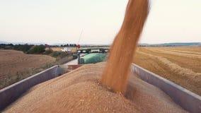 Συνδυάστε το σιτάρι φόρτωσης θεριστικών μηχανών σε ένα ρυμουλκό φορτηγών Χύνοντας σιτάρι σίτου στο ρυμουλκό τρακτέρ μετά από τη σ απόθεμα βίντεο