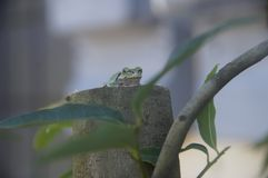 Συνεδρίαση βατράχων σε ένα δέντρο στοκ εικόνες