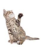 Συνεδρίαση γατών γατακιών με το αυξημένο πόδι που φαίνεται επάνω απομονωμένο Στοκ εικόνες με δικαίωμα ελεύθερης χρήσης