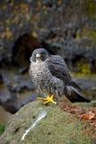 Συνεδρίαση γερακιών πετριτών στο βράχο με, σπάνιο πουλί στο βιότοπο φύσης Γεράκι στο τσεχικό βουνό Ceske Svycarsko εθνικό Στοκ Εικόνες