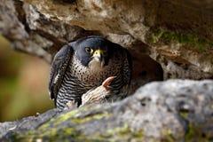 Συνεδρίαση γερακιών πετριτών στο βράχο με το πουλί σύλληψης, τρόφιμα στην πέτρα Γεράκι πετριτών, συνεδρίαση πουλιών του θηράματος Στοκ Φωτογραφίες