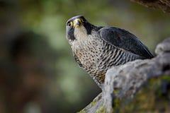 Συνεδρίαση γερακιών πετριτών στο βράχο Σπάνιο πουλί στο βιότοπο φύσης Γεράκι στο τσεχικό εθνικό πάρκο Ceske Svycarsko βουνών Πουλ Στοκ Φωτογραφία