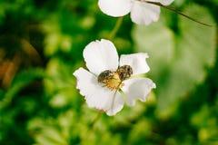 Συνεδρίαση δύο κανθάρων στο άσπρο λουλούδι στο δασικό θολωμένο υπόβαθρο Έντομα στη δασική φύση Στοκ Εικόνες