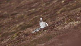 Συνεδρίαση και να κοιτάξει επίμονα στενό UPS timidus Lepus λαγών βουνών moult την άνοιξη στα cairngorms NP, Σκωτία κατά τη διάρκε απόθεμα βίντεο