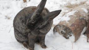 Συνεδρίαση κουνελιών στο χιόνι απόθεμα βίντεο