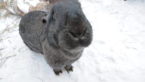 Συνεδρίαση κουνελιών στο χιόνι φιλμ μικρού μήκους