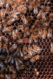 Συνεδρίαση κυψελών μελισσών στην κηρήθρα στοκ φωτογραφίες