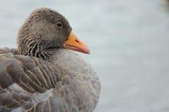 συνεδρίαση λιμνών χηνών χήνω&nu Στοκ εικόνα με δικαίωμα ελεύθερης χρήσης