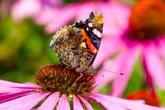 Συνεδρίαση ματιών πεταλούδων peacock στο λουλούδι Echinacea Στοκ Φωτογραφία