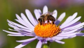 Συνεδρίαση μελισσών ή μελισσών στο λουλούδι στοκ φωτογραφίες