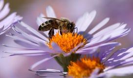 Συνεδρίαση μελισσών ή μελισσών στο λουλούδι στοκ εικόνες