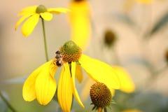 Συνεδρίαση μελισσών σε ένα κίτρινο λουλούδι στοκ φωτογραφία