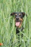 συνεδρίαση πεδίων σκυλ&iot Στοκ εικόνες με δικαίωμα ελεύθερης χρήσης