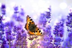 Συνεδρίαση πεταλούδων μοναρχών ιώδες lavender Στοκ Εικόνα