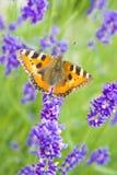 Συνεδρίαση πεταλούδων μοναρχών ιώδες lavender Στοκ εικόνες με δικαίωμα ελεύθερης χρήσης
