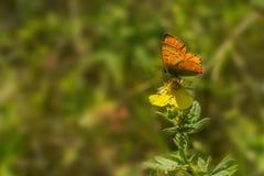 Συνεδρίαση πεταλούδων στο λουλούδι Στοκ Εικόνα