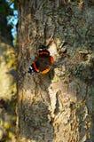 Συνεδρίαση πεταλούδων της Vanessa σε ένα δέντρο στοκ φωτογραφίες