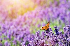 Συνεδρίαση πεταλούδων lavender στο λουλούδι Στοκ Φωτογραφία
