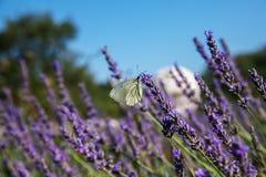 Συνεδρίαση πεταλούδων lavender Στοκ εικόνες με δικαίωμα ελεύθερης χρήσης