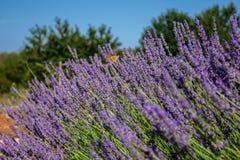 Συνεδρίαση πεταλούδων lavender Στοκ Φωτογραφία