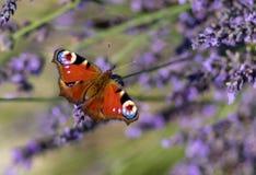 Συνεδρίαση πεταλούδων Peacock ιώδες lavender στοκ φωτογραφία