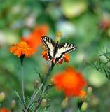 Συνεδρίαση πεταλούδων Swallowtail σε ένα λουλούδι, πράσινο θολωμένο υπόβαθρο Στοκ φωτογραφία με δικαίωμα ελεύθερης χρήσης