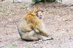 Συνεδρίαση πιθήκων Βαρβαρίας Macaque στο έδαφος στο δάσος κέδρων, Azrou, Μαρόκο στοκ φωτογραφίες