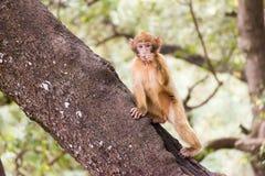 Συνεδρίαση πιθήκων Βαρβαρίας Macaque στο έδαφος στο δάσος κέδρων, Azrou, Μαρόκο στοκ εικόνες με δικαίωμα ελεύθερης χρήσης
