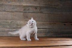 Συνεδρίαση πορτρέτου γατακιών σε ένα ξύλινο υπόβαθρο, Στοκ Εικόνες