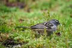 Συνεδρίαση πουλιών σπουργιτιών στο έδαφος στις εγκαταστάσεις στοκ εικόνες