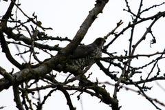 Συνεδρίαση πουλιών του θηράματος κλάδοι ενός δέντρου στοκ εικόνα με δικαίωμα ελεύθερης χρήσης