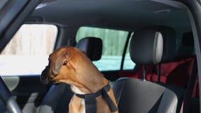 Συνεδρίαση σκυλιών μπόξερ στη θέση του οδηγού και κοίταγμα γύρω απόθεμα βίντεο