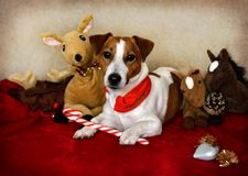 Συνεδρίαση σκυλιών του Jack Russell κάτω με τα παιχνίδια γύρω σε τον και τα Χριστούγεννα Στοκ φωτογραφίες με δικαίωμα ελεύθερης χρήσης