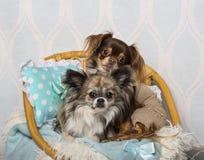 Συνεδρίαση σκυλιών Chihuahua στην καρέκλα στο στούντιο, πορτρέτο Στοκ Φωτογραφία