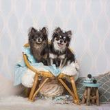 Συνεδρίαση σκυλιών Chihuahua στην καρέκλα στο στούντιο, πορτρέτο Στοκ Εικόνες