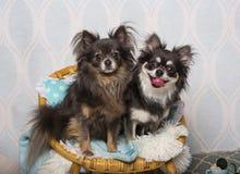 Συνεδρίαση σκυλιών Chihuahua στην καρέκλα στο στούντιο, πορτρέτο Στοκ φωτογραφία με δικαίωμα ελεύθερης χρήσης